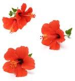 красный цвет hibiscus Стоковое Изображение