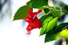красный цвет hibiscus Стоковое Фото