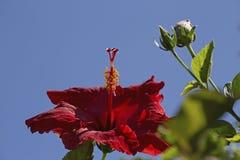 Красный цвет Hibscus Стоковое Изображение