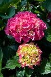 красный цвет hortensia Стоковое Фото