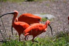 красный цвет ibis Стоковые Фотографии RF