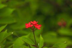 Красный цвет integerrima ятрофы красивый в кустарнике природы a небольшом стоковое фото