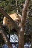 красный цвет iv лисицы Стоковая Фотография