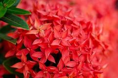 красный цвет ixora крупного плана Стоковое фото RF