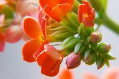 красный цвет kalanchoe Стоковые Фотографии RF