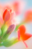 красный цвет kalanchoe Стоковое Фото