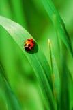 красный цвет ladybird травы Стоковая Фотография RF