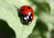 красный цвет ladybug Стоковое фото RF