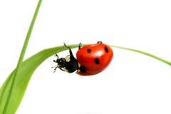красный цвет ladybug Стоковая Фотография RF