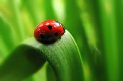 красный цвет ladybug Стоковые Изображения RF