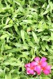 красный цвет leelawadee травы Стоковые Фото