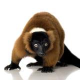 красный цвет lemur ruffed Стоковые Изображения