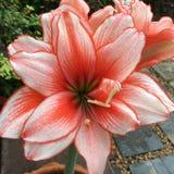 Красный цвет Lilly Стоковые Изображения RF