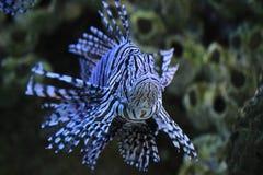 красный цвет lionfish Стоковые Изображения RF
