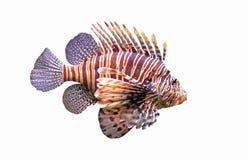 красный цвет lionfish Стоковое фото RF