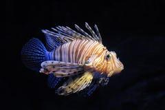 красный цвет lionfish Стоковая Фотография