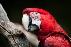 красный цвет macaw зеленого цвета chloroptera ara Стоковые Изображения