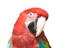 красный цвет macaw стоковое изображение rf
