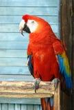 красный цвет macaw стоковая фотография rf