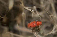 красный цвет milkweed жука Стоковое Изображение RF