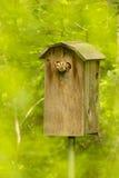 Красный цвет Morph восточный сыч screech в коробке с запачканной предпосылкой леса Стоковое Изображение