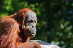 красный цвет orangutang Стоковая Фотография