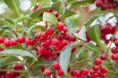 красный цвет pendulus hybridus cotoneaster ягод Стоковая Фотография