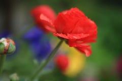 красный цвет peonia Стоковое Фото