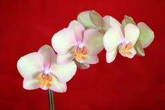красный цвет phalaenopsis орхидеи Стоковые Изображения RF
