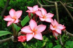 красный цвет plumeria цветка стоковая фотография