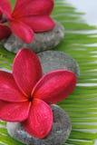 красный цвет plumeria Стоковое Изображение RF