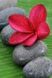 красный цвет plumeria Стоковая Фотография RF
