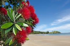 Красный цвет Pohutukawa цветет цветение Стоковая Фотография RF