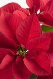 красный цвет poinsettia крупного плана Стоковая Фотография
