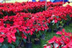 красный цвет poinsettia украшений рождества стоковое изображение