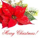 красный цвет poinsettia цветка рождества Стоковые Изображения RF