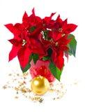 красный цвет poinsettia цветка рождества стоковое изображение