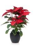 красный цвет poinsettia Стоковые Изображения RF