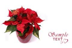 красный цвет poinsettia Стоковое Изображение RF