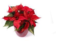 красный цвет poinsettia Стоковое фото RF
