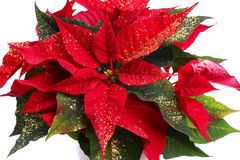 красный цвет poinsettia Стоковая Фотография