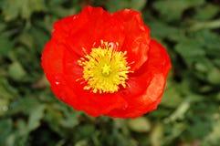 красный цвет poppie Стоковая Фотография