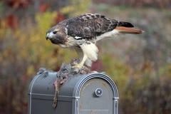 красный цвет prey хоука замкнул Стоковое Фото