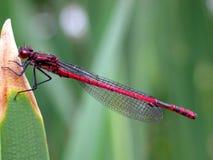 красный цвет pyrrhosoma nymphula damselfly большой Стоковая Фотография RF
