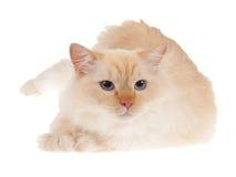 красный цвет ragdoll изолированного пункта кота стоковое изображение