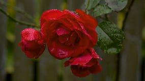 красный цвет raindrops поднял Стоковые Изображения