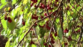 Красный цвет Ranetki на дереве в осени акции видеоматериалы