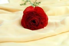 красный цвет ranunkulyus Стоковые Изображения