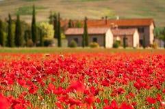 красный цвет tuscan маков Стоковое Изображение RF