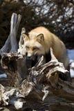 красный цвет VI лисицы Стоковые Фото